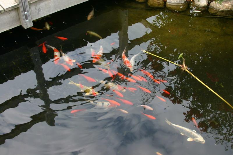 Como hacer un estanque con plantas peces tortugas for Como hacer un estanque para peces koi